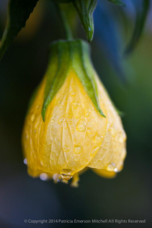 Flowering_Maple_Flower,_12.4.14