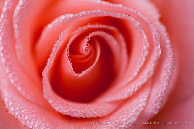 Pink_Rose_&_Dewdrops,_12.24.14