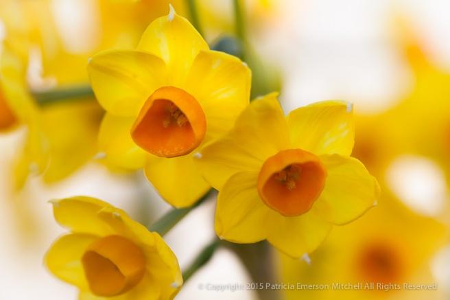 First_Shot-_Yellow_&_Orange_Narcissus,_1.6.15