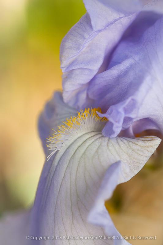 Iris,_1.28.15
