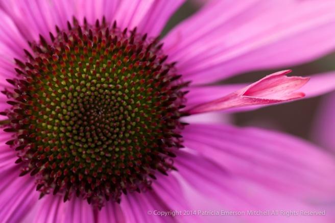 Pink_Echinacea_(II),_12.18.14