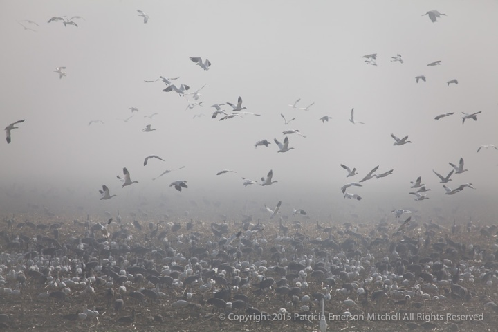 Cranes,_Geese_&_One_Egret_in_Fog,_2.13.15