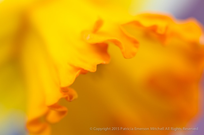 First Shot-Filoli_Daffodil,_3.10.15