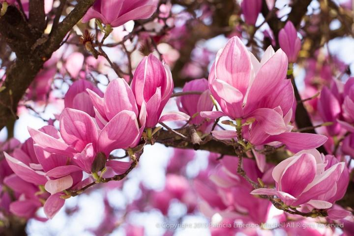 Magnolia_Tree_(I),_2.17.14