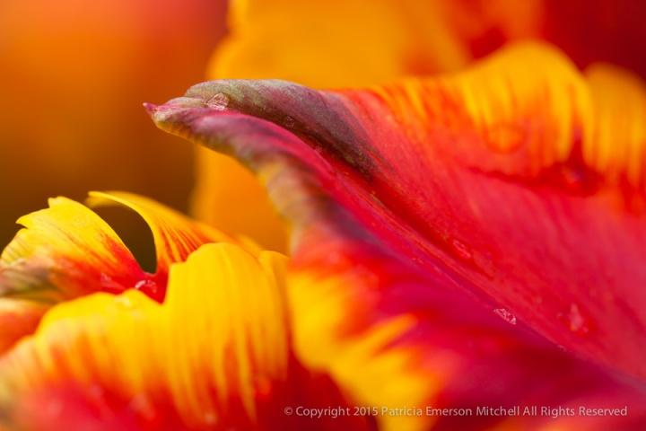 Parrot_Tulip_(I),_3.10.14