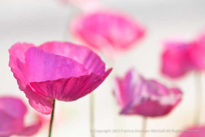 Pink_Poppies,_3.19.14