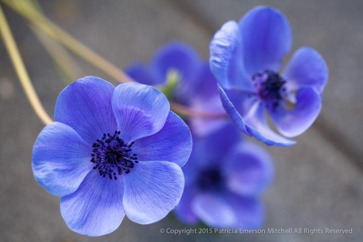 Purple_Anemone,_2.24.15