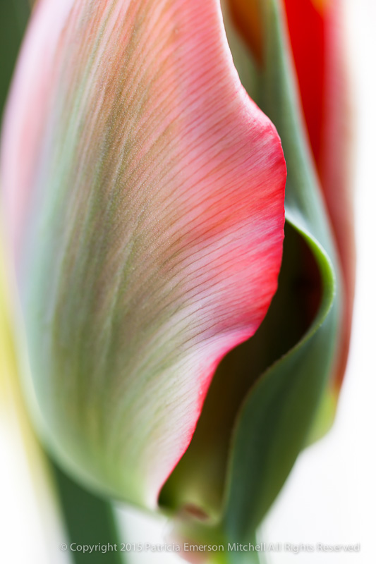 Tulip_in_Red,_White_&_Green,_2.19.15