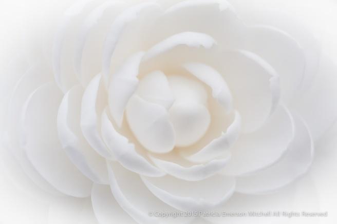 White_Camellia_(I),_2.19.15