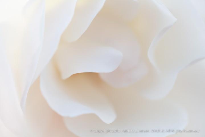 White_Petals,_1.5.15