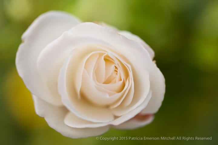White_Rose_on_Green,_1.5.15
