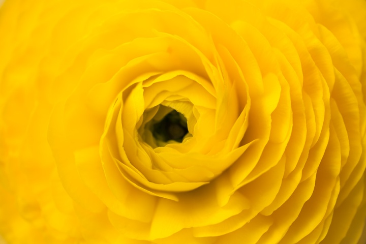 Yellow_Ranunculus,_2.3.15