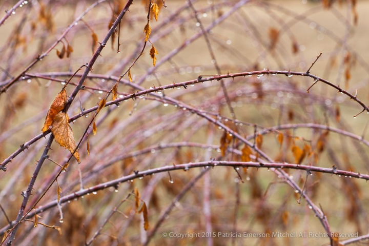Yosemite_Leaves,_Water_Drops_&_Branches,_3.1.14