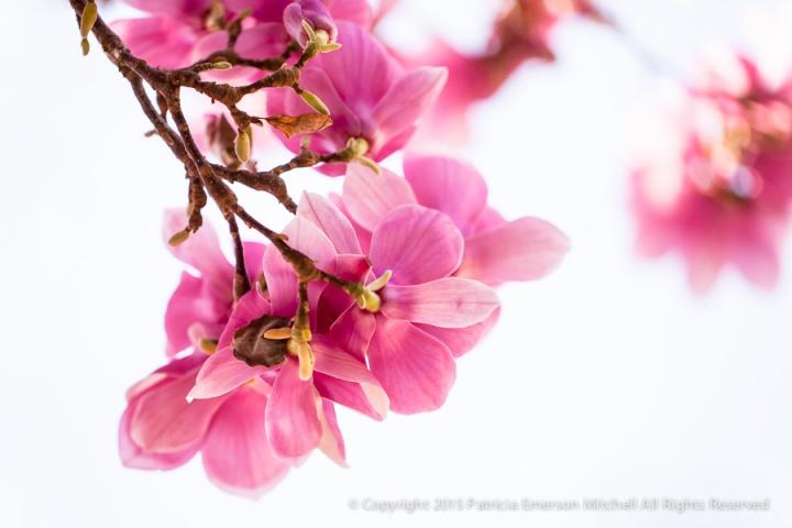 Pink_Magnolia,_2.17.14