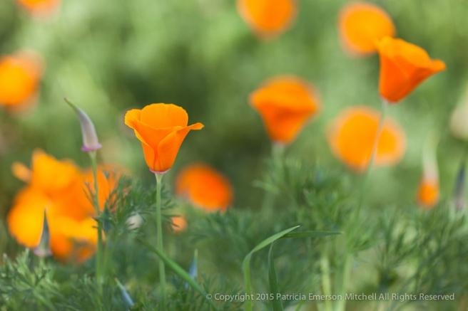 Poppy_Patch,_3.12.15