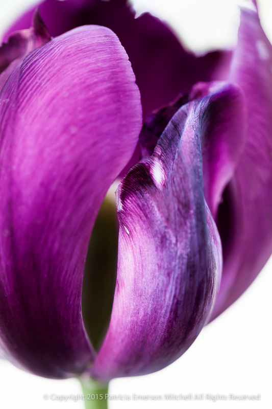 Purple_Tulip_(I),_3.3.15