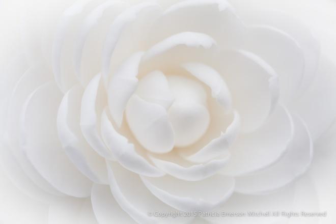 White_Camellia,_2.19.15