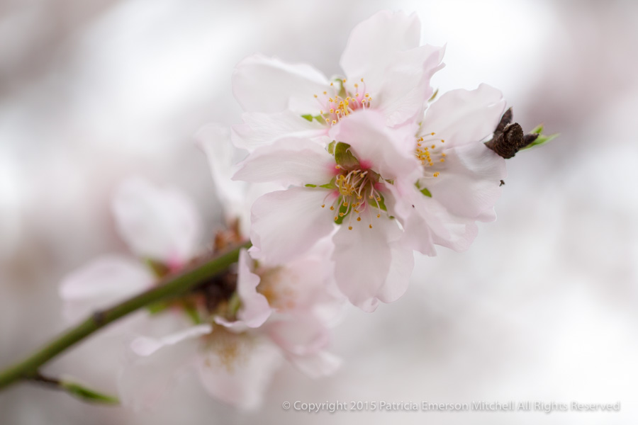 Blossoms_(I),_2.18.14