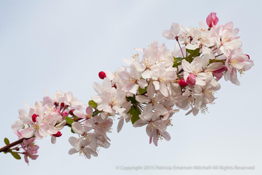 Blossoms_(I),_3.10.15