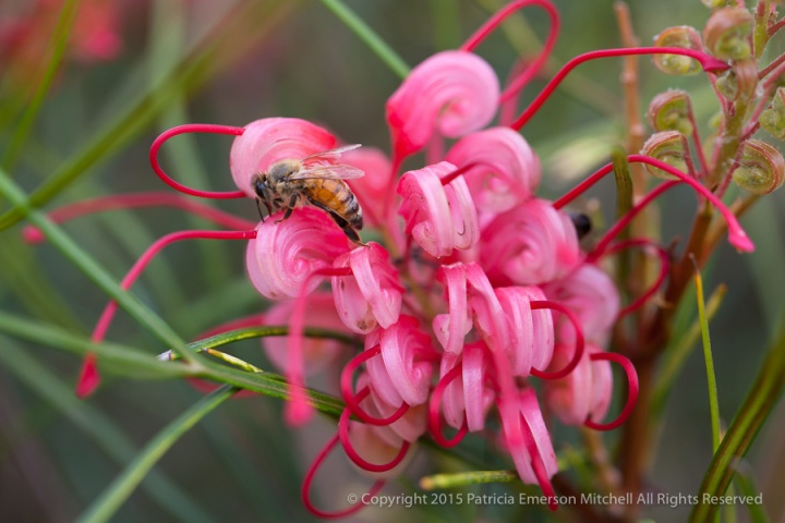 First_Shot-_Bee_on_a_Grevillea_bloom,_5.14.15
