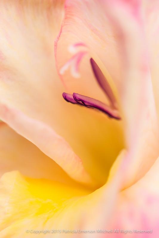 Gladiolus_(I),_5.16.14