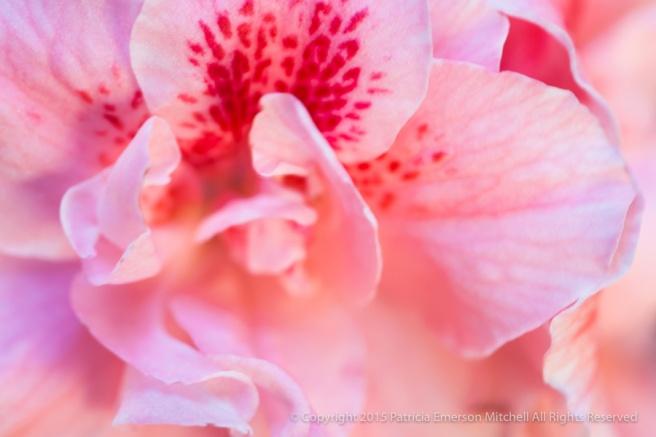 Pink_Azalea,_5.2.14