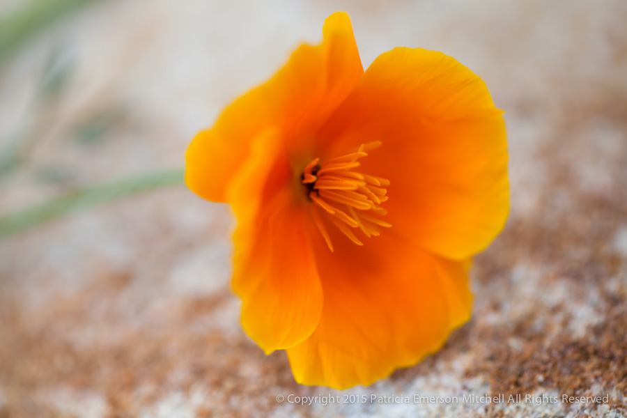 Poppy_on_a_Rock,_3.26.15