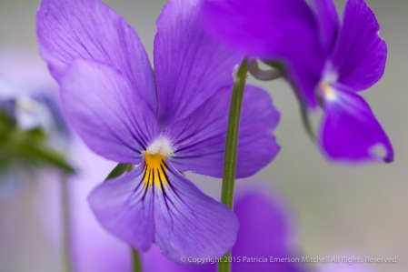 Purple Violas, 5.30.14