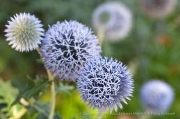 Echinops_ritro,_7.30.15
