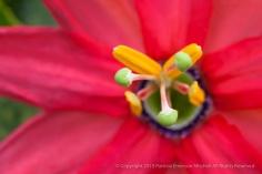 Passion_Flower_(I),_7.7.15