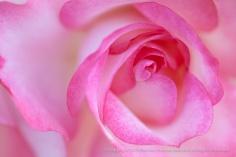 Pink_&_White_Rose,_5.6.15