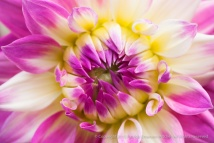 Pink, Yellow and White Dahlia, 7.5.15