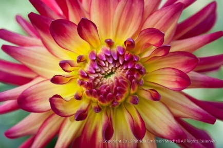 Red & Yellow Dahlia, 7.5.15