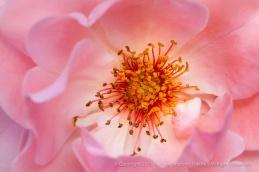 Traumland_Rose,_5.11.15