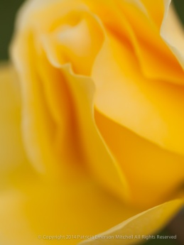 Unsharp-_Yellow_Rose,_11.18.14