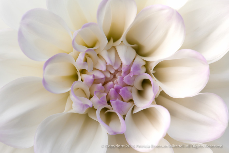 White_&_Lavender_Dahlia,_7.5.15