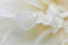 White_Dahlia_(I),_7.8.15