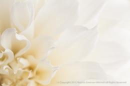 White_Dahlia_(III),_7.8.15