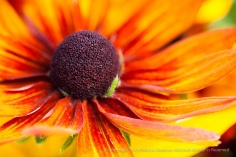 First_Shot,_Orange_&_Yellow_Rudbeckia,_8.12.15