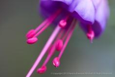 Fuchsia,_Pink_Stamen,_1.8.15
