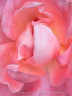 Pink_November_Rose,_11.11.14