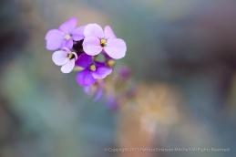 Purple_Erysimum,_8.11.15