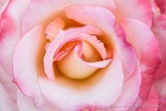 Secret_Rose_(I),_8.4.15