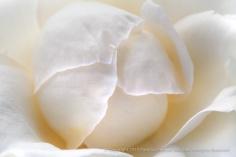 Whisper_Rose,_7.13.15