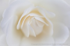 White_Rose_Center,_5.7.15