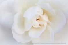 White Rose (I), 11.6.2014