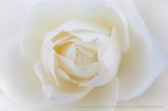 White Rose (II), 11.6.2014