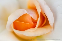 Apricots_N'_Cream_Rose,_8.4.15