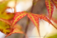 Japanese Maple Leaves, 9.23.15