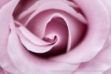 Neptune_Rose,_8.4.15
